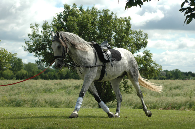 Download Dappled Grey Horse stock image. Image of hobby, farm, movement - 2561225