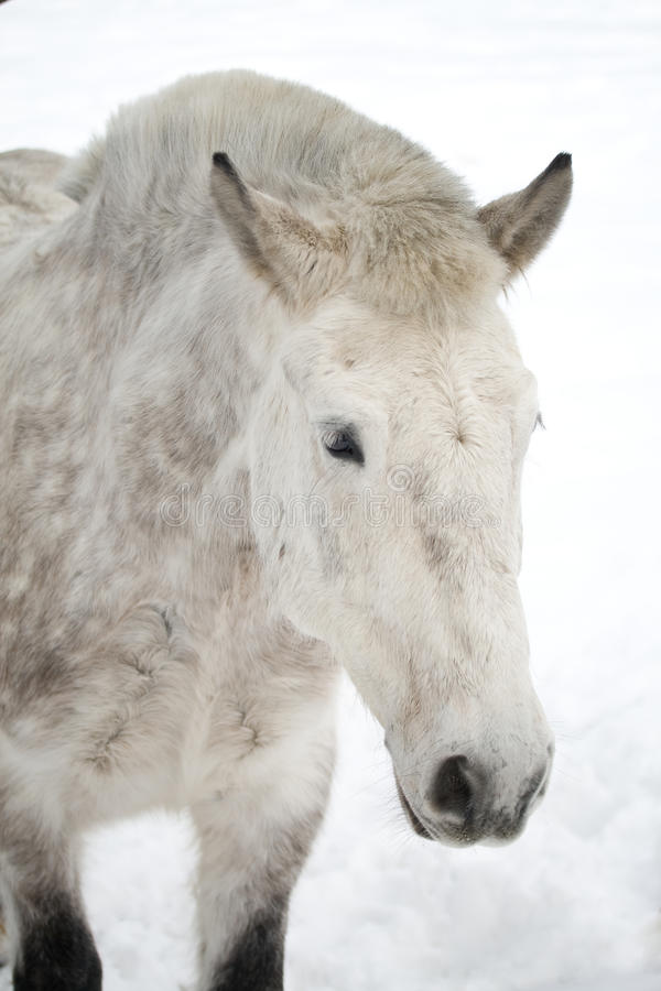 Dappled Pferd lizenzfreie stockfotos