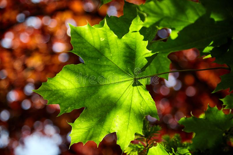 Dappled sunlight on a fresh green maple leaf royalty free stock photo