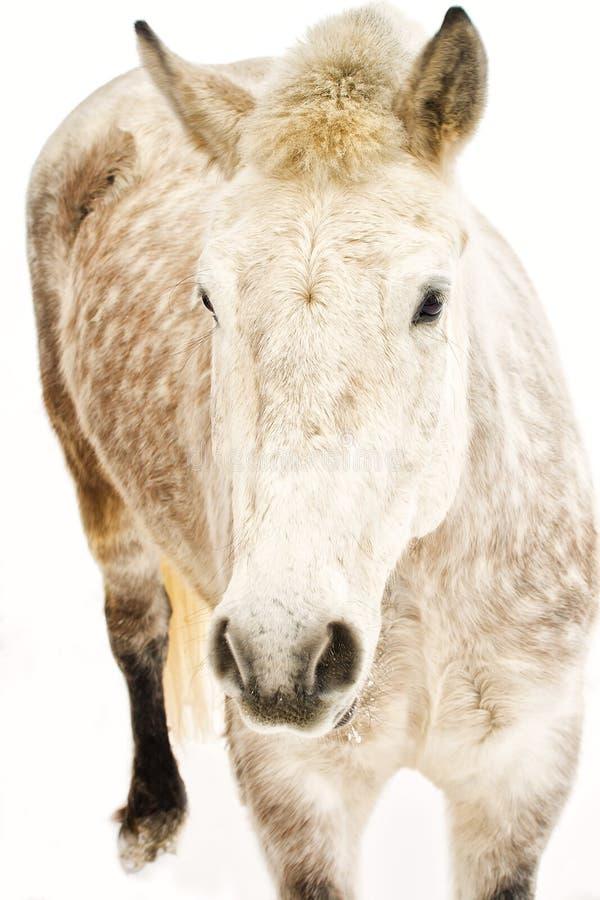 Dappled weißes Pferd lizenzfreie stockbilder