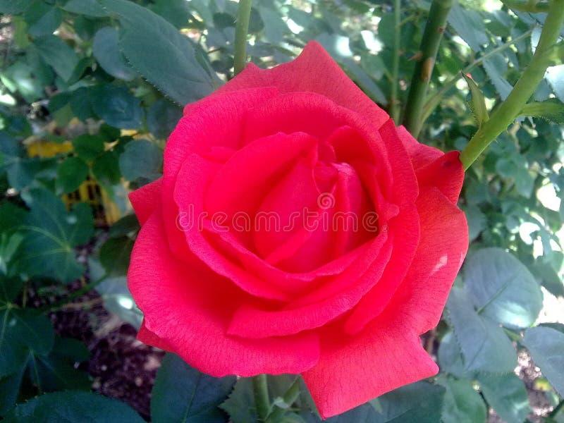 Dard Rose rouge photo libre de droits