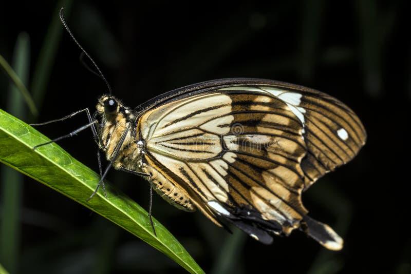 Dardanus van BuPapilio (Afrikaanse Swallowtail, vlinder stock fotografie