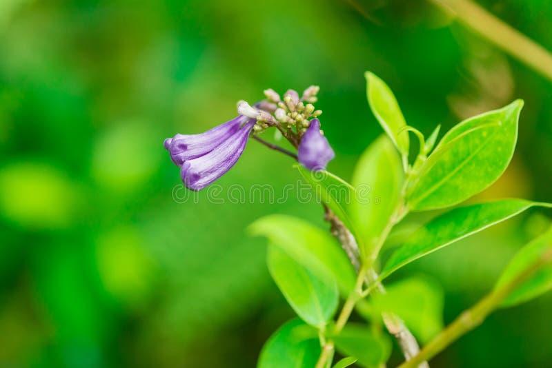Darden purpurf?rgade jakarandablommor f?r closeupen som in blommar royaltyfri bild