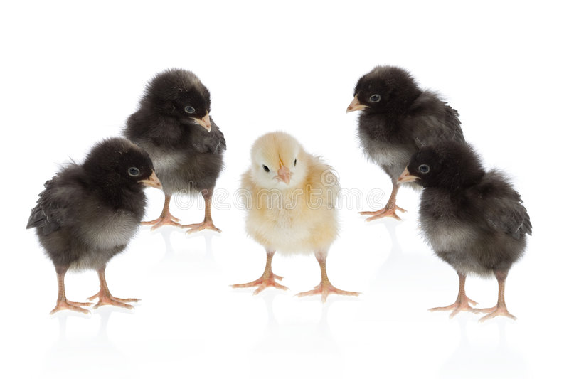 Dare to be different. Easter scene : yellow chicken amongst four black ones. Isolated on a white background