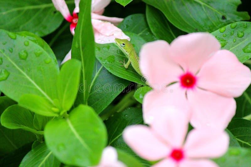 Dare una occhiata al Gecko immagini stock libere da diritti