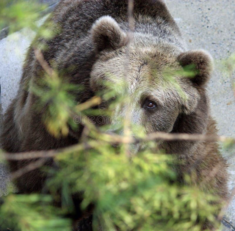 Dare una occhiata all'orso fotografia stock libera da diritti
