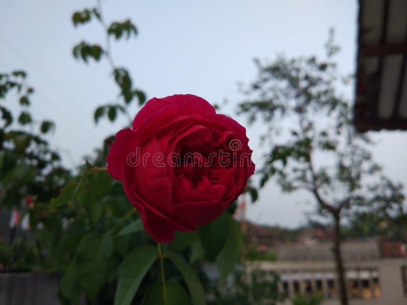 Download Dari Rose flower stock photo. Image of flower, shadow - 111730626