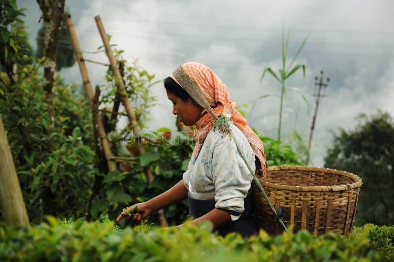 darjeeling листья Индии выбирают женщину чая стоковая фотография rf