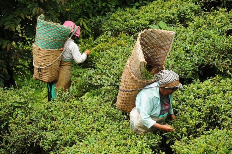 darjeeling листья Индии выбирают женщин чая стоковое фото