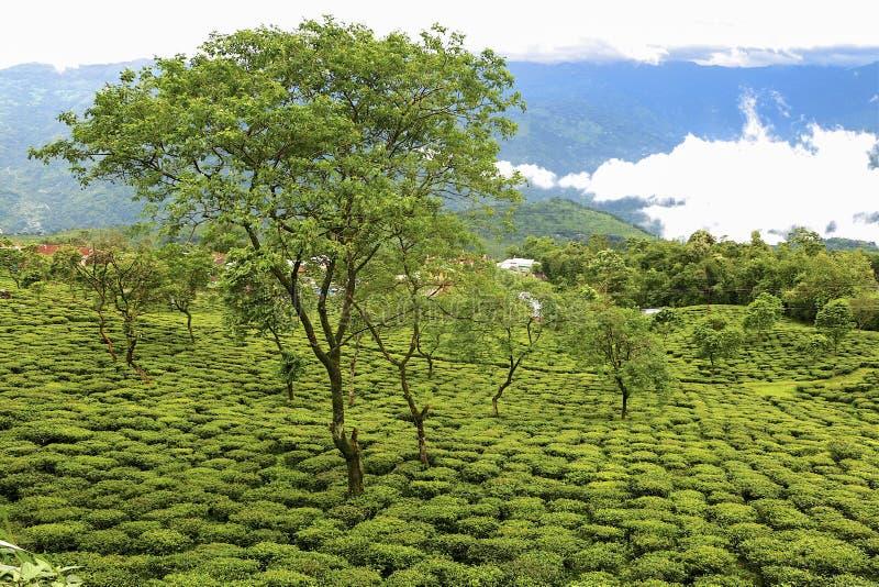 Darjeeling Herbaciany ogród fotografia stock