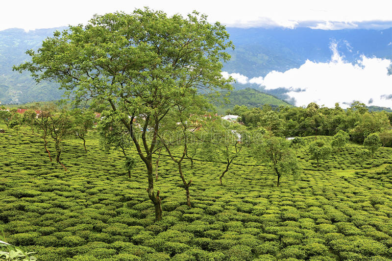 Darjeeling Tea Garden. A tea garden in Indian, Darjeeling district, near the boarder with Nepal stock photography