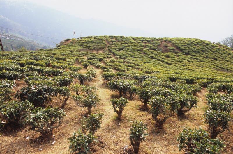 Darjeeling tea plantation royalty free stock photography
