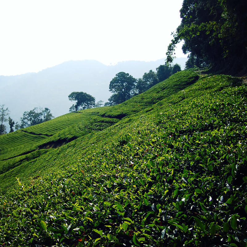 Darjeeling tea plantation. Vintage filter photo. Green tea bushes on the North of India. Tea Growing Region. Winter in West Bengal district. India royalty free stock images