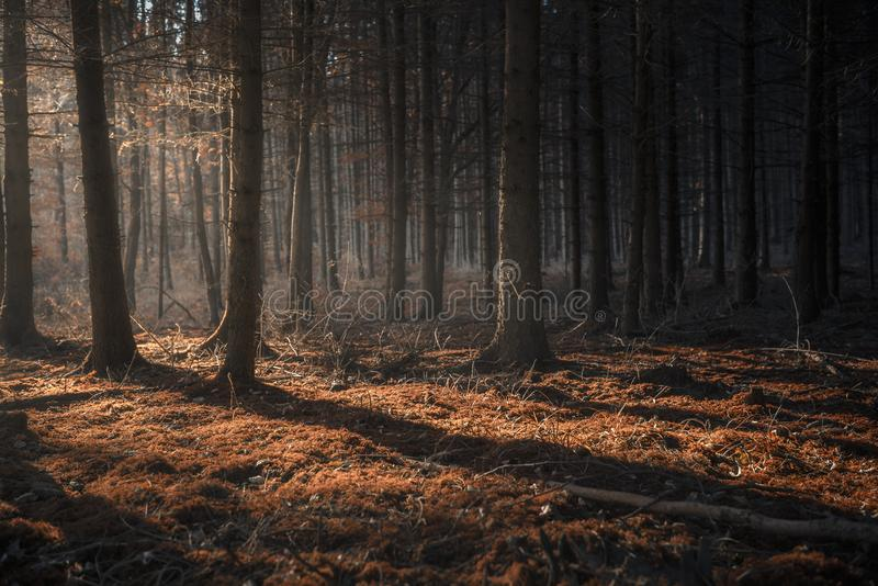 Dark autumn forest with beams of light royalty free stock image