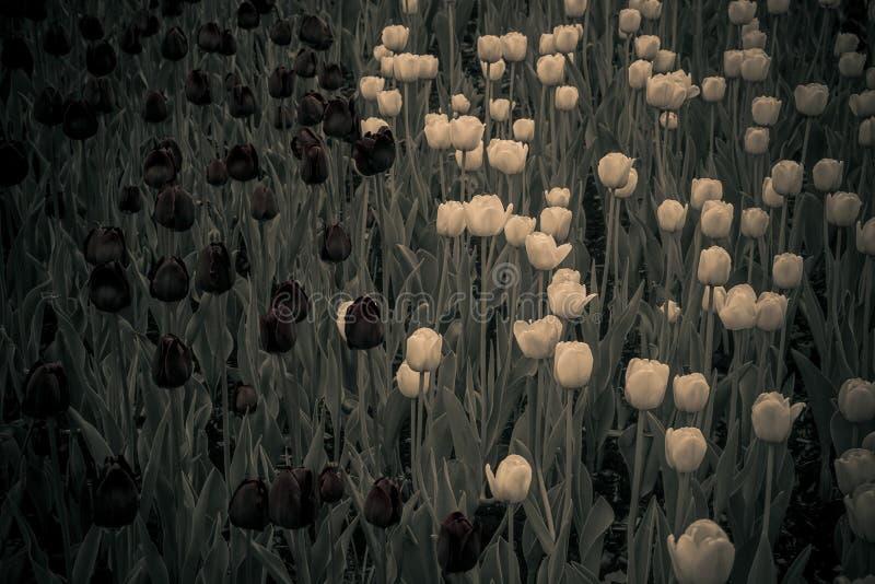 Dark background of black and white tulips stock photo