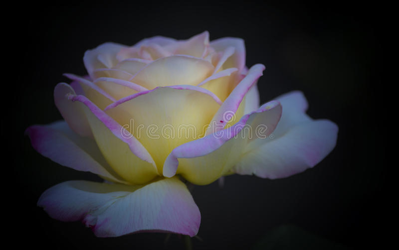 A large rose flower from soft pink petals. royalty free stock photo