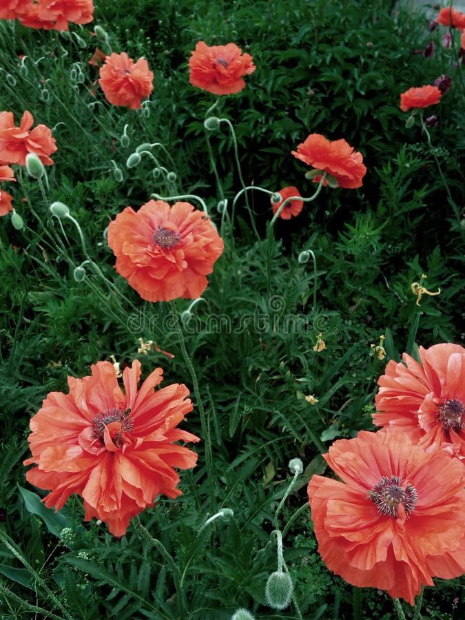 Many red large poppies on the summer flowerbed royalty free stock photography