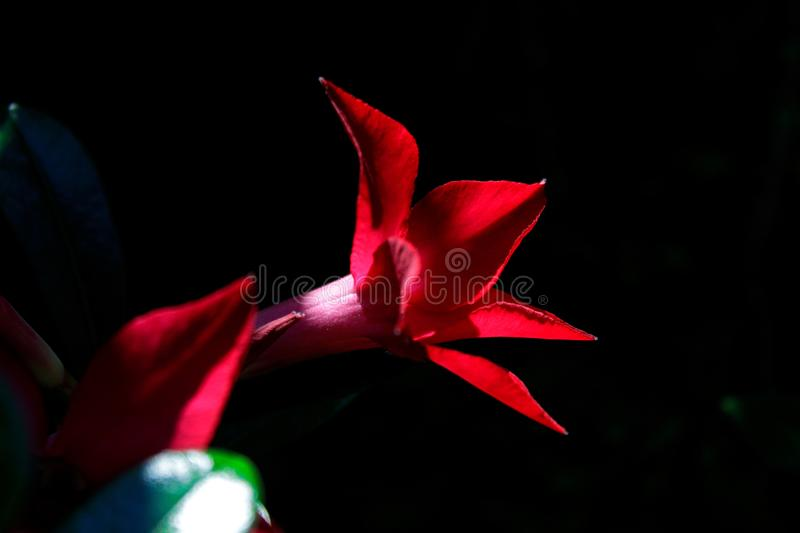 Red Flower in front of Dark Background royalty free stock photography