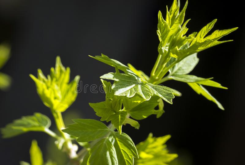 Young green leaves. royalty free stock photography