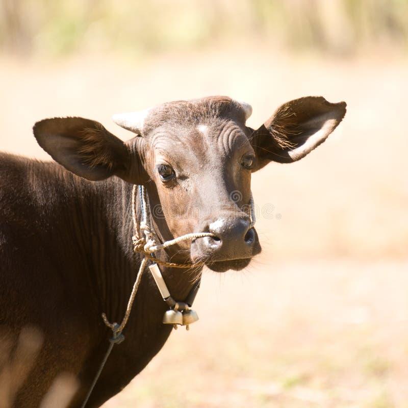 Dark Bali cow royalty free stock photos