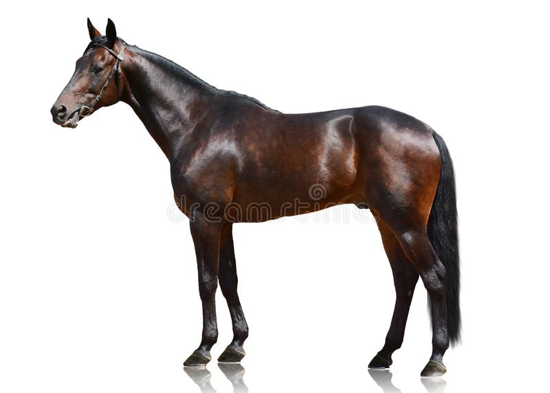 The dark bay sport horse stand isolated on white background. royalty free stock photo