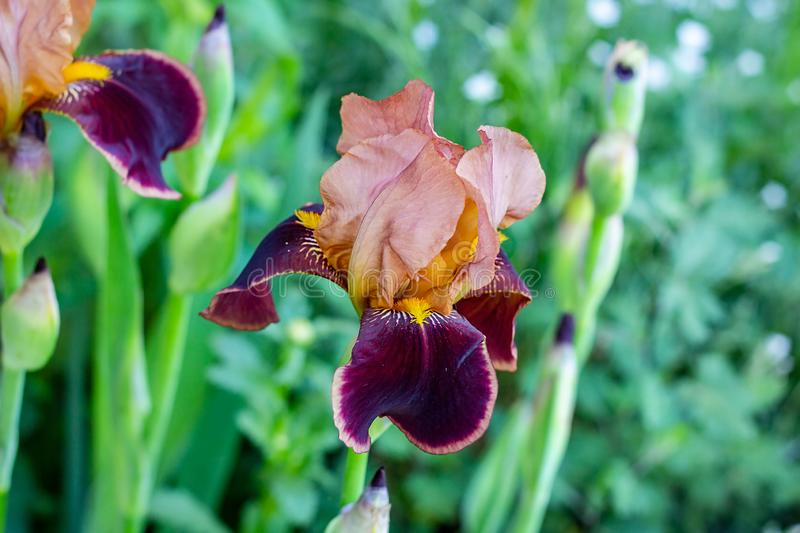 Dark blooming Irises xiphium Bulbous iris, sibirica on green leaves ang grass background in the garden. In spring and summer royalty free stock image