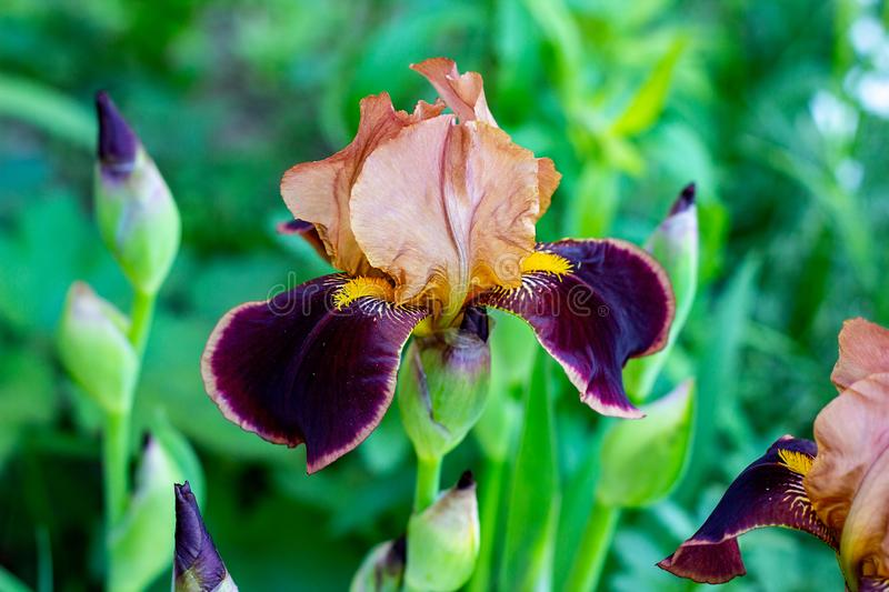 Dark blooming Irises xiphium Bulbous iris, sibirica on green leaves ang grass background in the garden. In spring and summer royalty free stock images