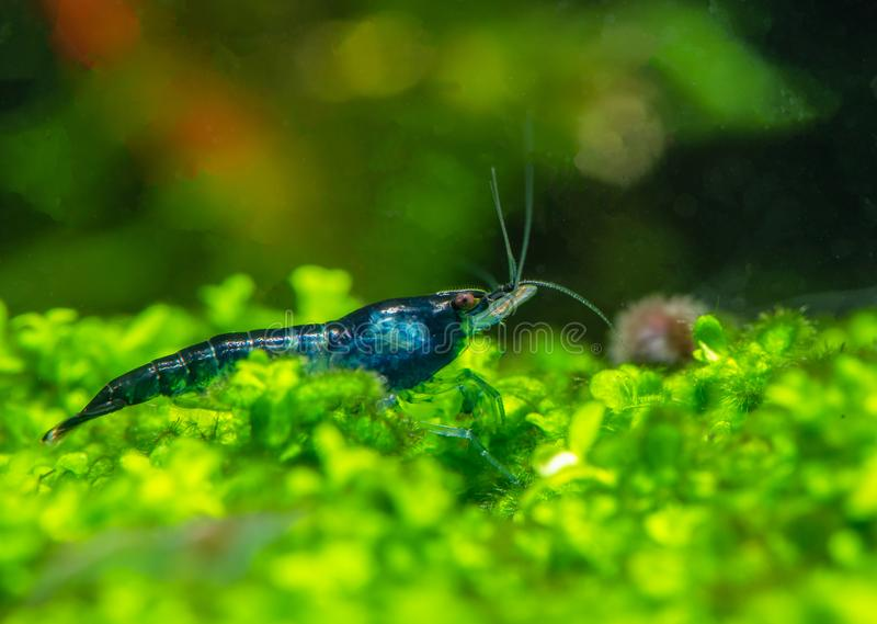 Dark blue cherry dwarf shrimp stay on leafs of aquatic plants with green background royalty free stock photography