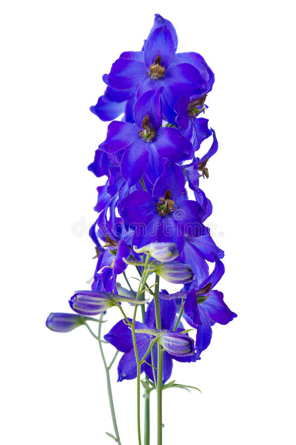 Free Dark Blue Delphiniums Royalty Free Stock Image - 25629606