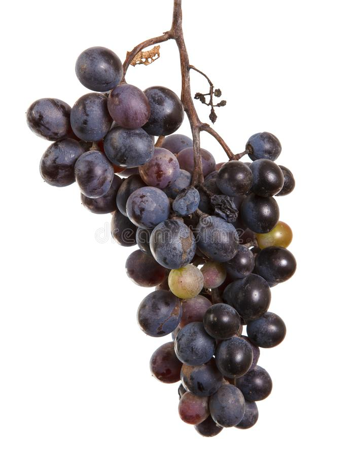Dark blue grapes. Bunch isolated on white. Background royalty free stock image