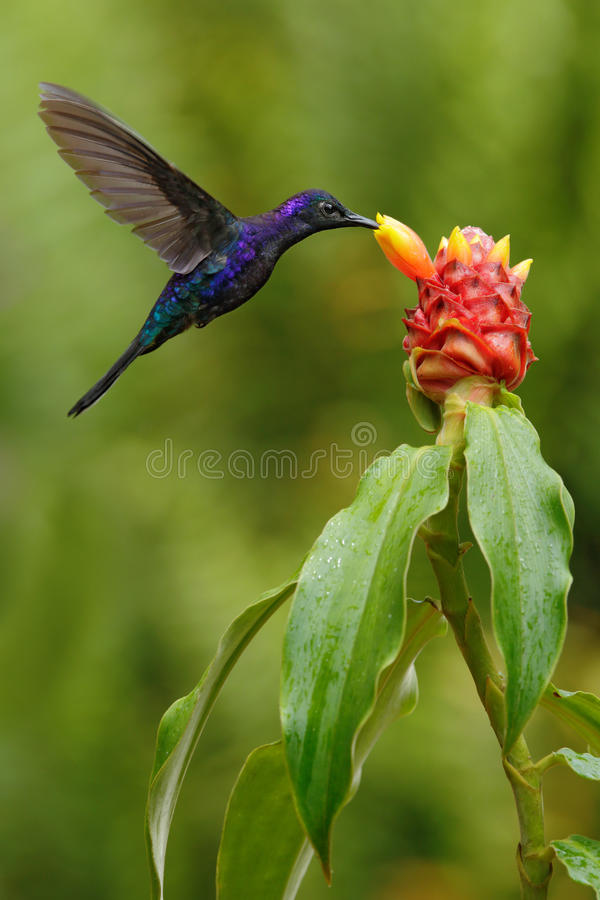 Dark blue hummingbird Violet Sabrewing from Costa Rica flying next to beautiful red flower royalty free stock photos