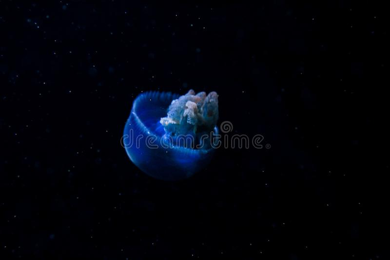 Blue jellyfish on dark background. Dark blue jellyfish with velvety tentacles floats on a dark background royalty free stock images