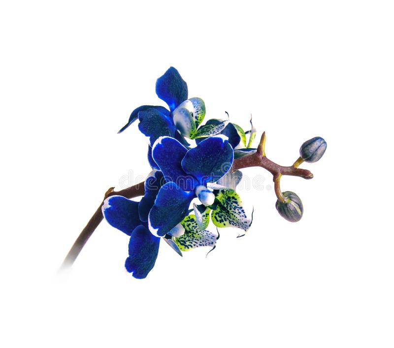 Dark blue orchid phalenopsis branch in blooms closeup flower isolated on white background. Symbol of luxury stock photography