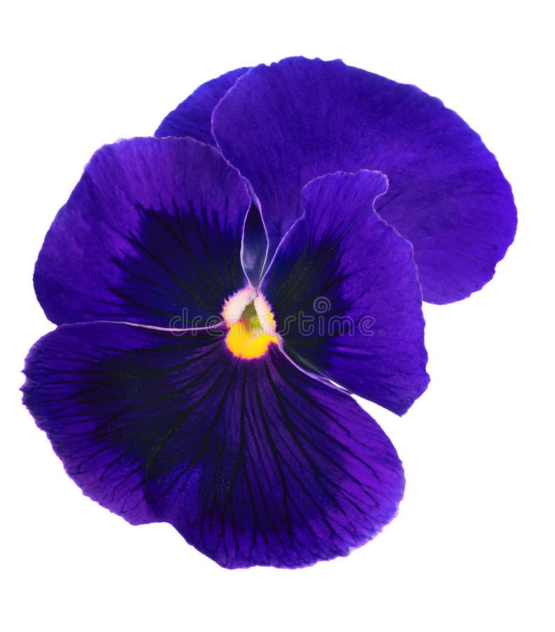 Free Dark Blue Pansy Blossom Isolated On White Royalty Free Stock Photos - 65227048