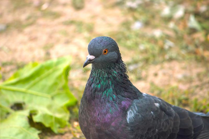 a dark blue pigeon stock images