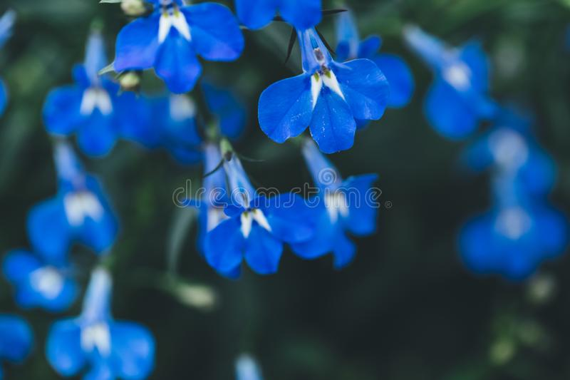 Dark blue pretty blooming flowers stock photography