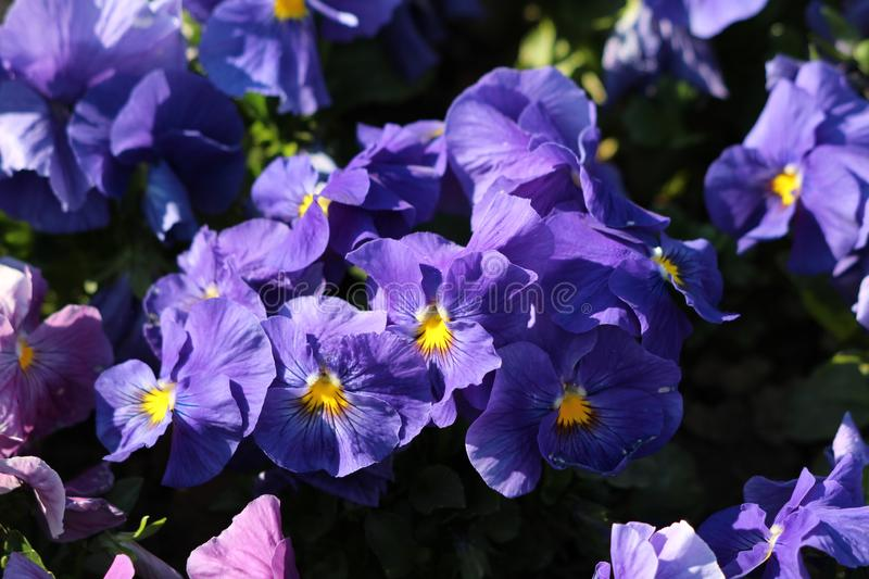 Dark blue Wild pansy or Viola tricolor small wild flowers with bright open petals densely planted in local garden on warm spring royalty free stock image