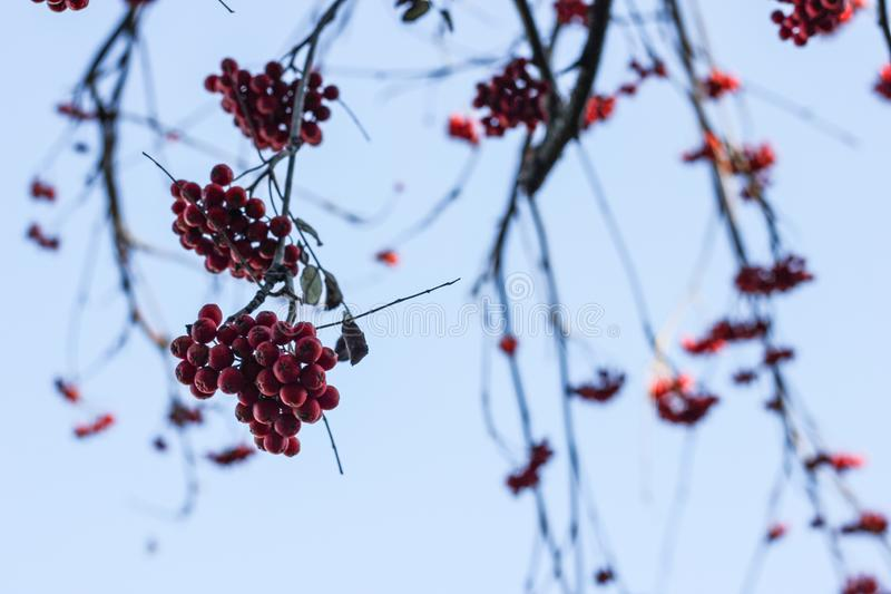 Dark branches of red mountain ash with berries. On light blue sky background. Autumn contrast composition stock photos