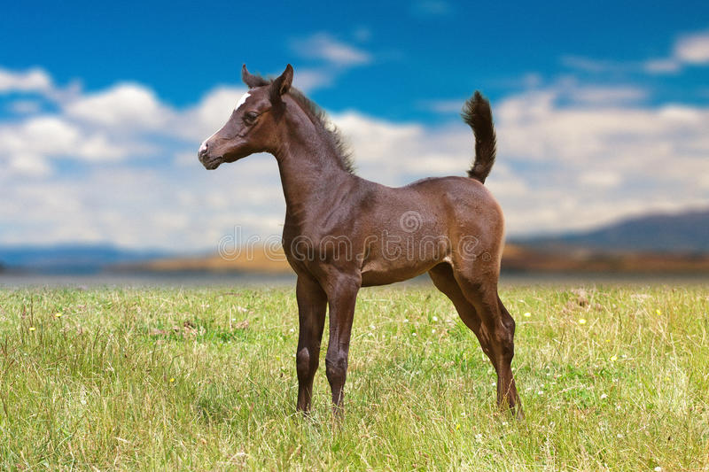 Dark brown Arabian foal royalty free stock photography