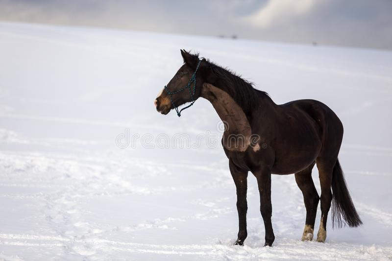 Dark brown big horse standing in the snow stock photo