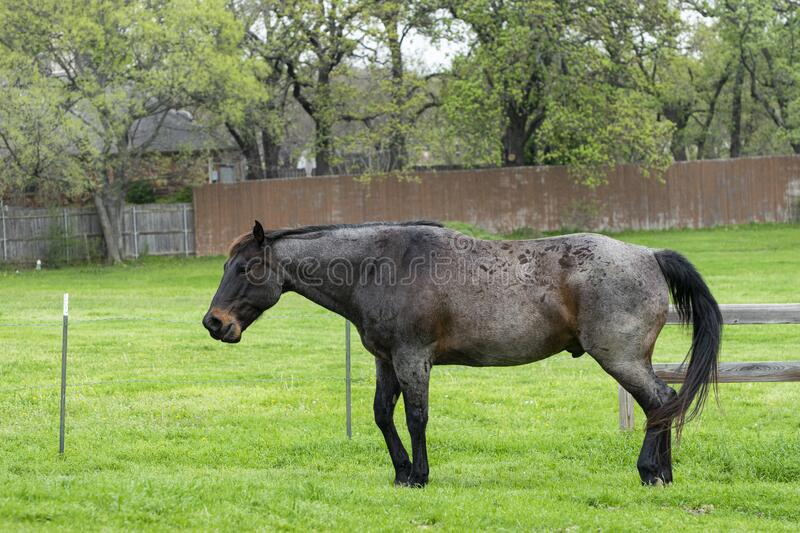 Dark brown and black horse standing in pasture. A beautiful dark brown and black horse standing in a ranch pasture full of lush green grass some neighborhood royalty free stock photography
