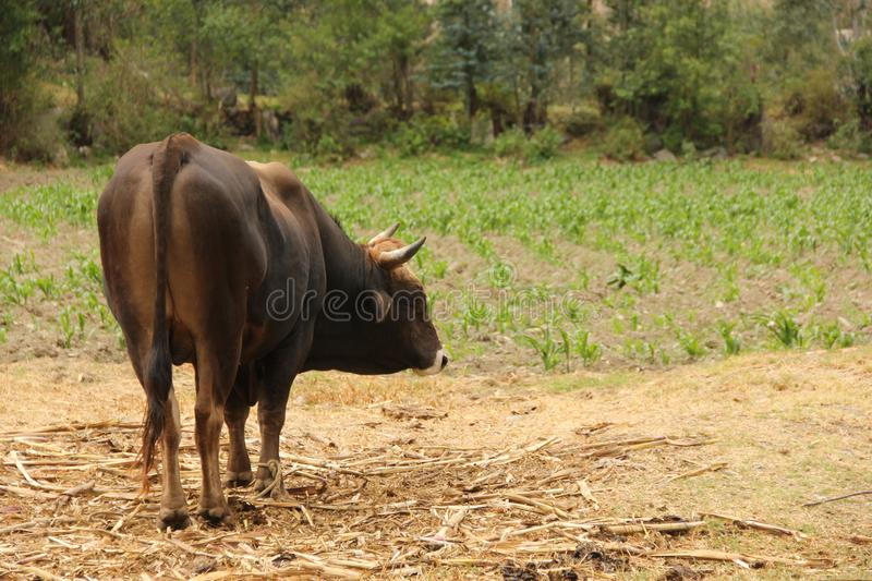 A dark brown bull is grazing. In a dry field near the town of Ollantaytabo in the Sacred Valley of Peru stock photos