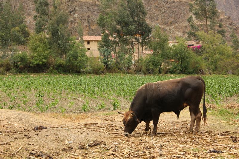 A dark brown bull is grazing. In a dry field near the town of Ollantaytabo in the Sacred Valley of Peru royalty free stock photos