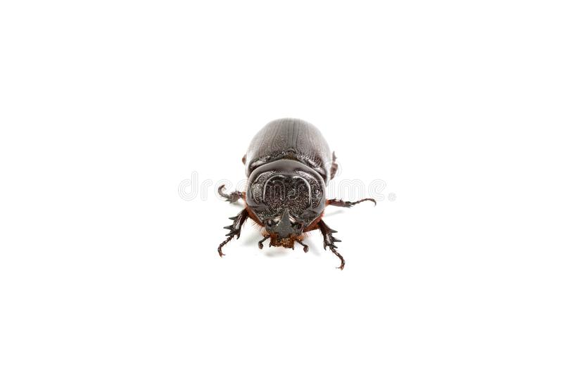 Dark brown Coconut rhinoceros beetle. Dark brown Coconut rhinoceros beetle Indian or Asian rhinoceros beetle have a short horn and insect pest isolate on white stock image