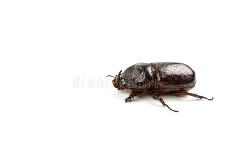 Dark brown Coconut rhinoceros beetle. Dark brown Coconut rhinoceros beetle Indian or Asian rhinoceros beetle have a short horn and insect pest isolate on white royalty free stock photography