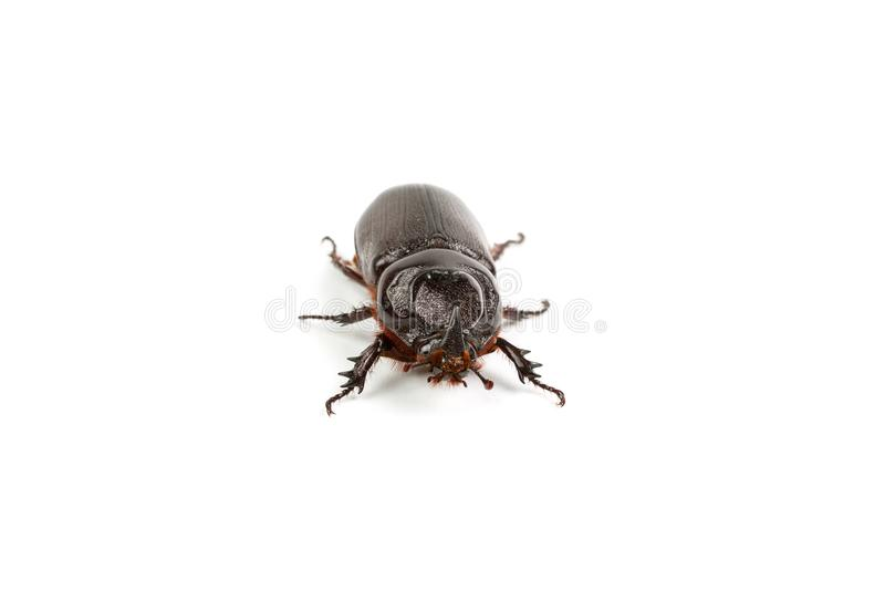 Dark brown Coconut rhinoceros beetle. Dark brown Coconut rhinoceros beetle Indian or Asian rhinoceros beetle have a short horn and insect pest isolate on white royalty free stock images