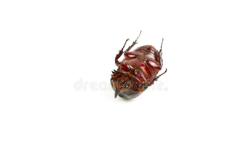 Dark brown Coconut rhinoceros beetle. Overturned Dark brown Coconut rhinoceros beetle Indian or Asian rhinoceros beetle have a short horn and insect pest royalty free stock image