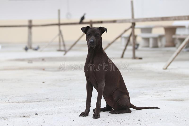Dark brown dog sitting on the concrete ground. a domesticated carnivorous mammal that typically has a long snout. Dark brown dog sitting on the concrete ground stock photo
