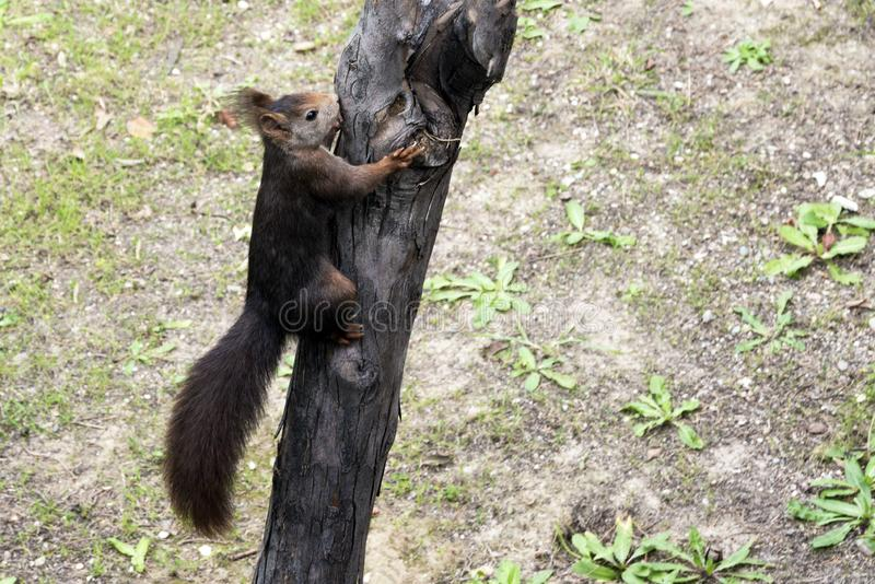 A dark brown furry squirrel sits on a large pine tree in a park. stock photos