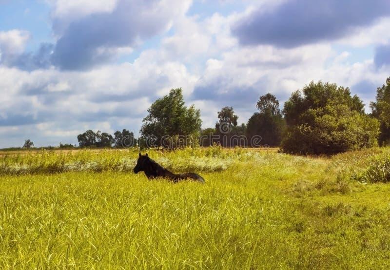 Dark brown horse lying on green meadow stock photo